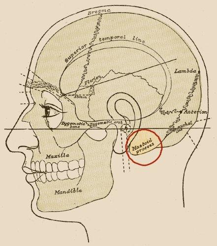 Anatomy behind ear